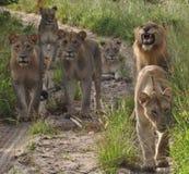 Duma lwy w drodze Fotografia Stock