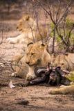 Duma lwy z zdobyczem w sawannie, Kruger park, Południowa Afryka Fotografia Royalty Free