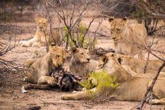 Duma lwy z zdobyczem w sawannie, Kruger park, Południowa Afryka Zdjęcie Royalty Free