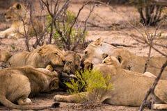 Duma lwy z zdobyczem w sawannie, Kruger park, Południowa Afryka Fotografia Stock