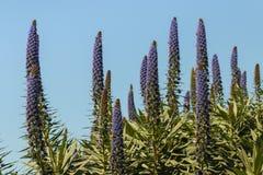 Duma madera kwitnie przeciw niebu Obrazy Stock