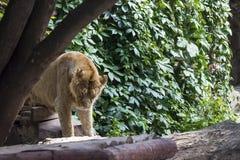 Duma odpoczywa przed polowaniem, młody męski Azjatycki lew Fotografia Royalty Free