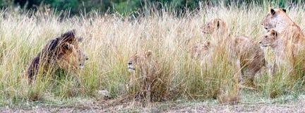 Duma Patrzeje lwa lwica Fotografia Stock