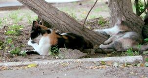 Duma zdziczali koty zbiory wideo