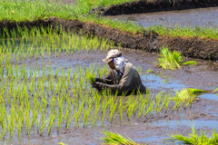 Dumaguete, Filippine - 1° maggio 2017: Un uomo semina il campo con riso Riso tradizionale che cresce in pagaie Fotografia Stock Libera da Diritti