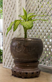 Dumb Cane in brown flower pot with white lath Royalty Free Stock Image