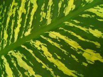 Dumb cane. Dieffenbachia /ˌdiːfᵻnˈbækiə/ is a genus of tropical flowering plants in the ... Its common name, & x22;dumb cane,& x22; refers  to the Royalty Free Stock Image