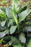 Dumb cane Royalty Free Stock Images