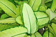 Dumb cane Leaf Royalty Free Stock Image