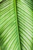 Dumb Cane leaf in garden Stock Image