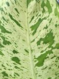 Dumb Cane leaf Stock Photos