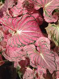 Dumb cane pink nature Royalty Free Stock Image