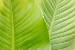 Dumb cane plant leaf Royalty Free Stock Images