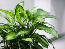 Dumb cane plant in the office building. For design work Stock Photography