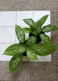 Dumb Cane plants. On stone bench royalty free stock photography