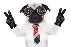 Dumb cool crazy dog. Dumb crazy pug dog with nerd glasses as an office business worker with pencil in mouth ,making peace and victory signs with finger Stock Images