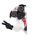 Dumb cool crazy dog. Dumb crazy pug dog with nerd glasses as an office business worker with pencil in mouth ,making peace and victory signs with finger Royalty Free Stock Image
