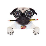 Dumb crazy dog. Dumb crazy pug dog with nerd glasses as an office business worker,behind blank empty banner or placard,  isolated on white background Stock Images