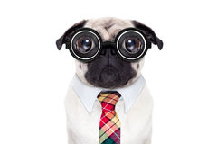 Dumb crazy dog. Dumb crazy pug dog with nerd glasses as an office business worker, isolated on white background Stock Photography