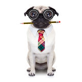 Dumb crazy dog. Dumb crazy pug dog with nerd glasses as an office business worker with pencil in mouth ,full body ,  isolated on white background Royalty Free Stock Photography
