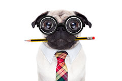 Dumb crazy dog. Dumb crazy pug dog with nerd glasses as an office business worker with pencil in mouth , isolated on white background Royalty Free Stock Image