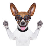 Dumb crazy dog Royalty Free Stock Photo