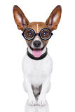 Dumb crazy dog Royalty Free Stock Photography