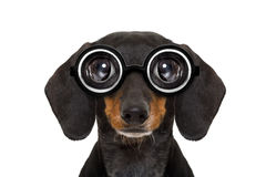 Dumb nerd silly dachshund Royalty Free Stock Images