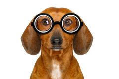 Dumb nerd silly dachshund Stock Images