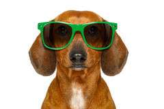 Dumb nerd silly dachshund. Sausage dog wearing funny green sunglasses , isolated on white background Royalty Free Stock Photography