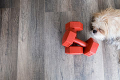 Dumbell and dog. A pair of dumbell with a sleeping dog Royalty Free Stock Photo