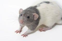 dumbo花梢norvegicus汇率鼠属 免版税库存照片