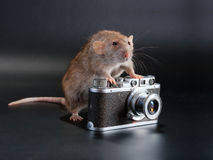 Dumbo breed rat. Dambo breed rat and old camera on the black background Royalty Free Stock Photos
