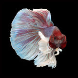 Dumbo Halfmoon Betta. On black background. Beautiful fish. Swimming flutter tail flutter Stock Photos