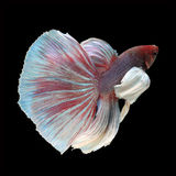 Dumbo Halfmoon Betta. On black background. Beautiful fish. Swimming flutter tail flutter Stock Image