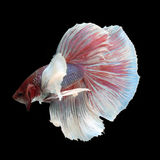 Dumbo Halfmoon Betta. On black background. Beautiful fish. Swimming flutter tail flutter Stock Images