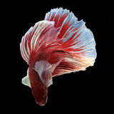 Dumbo Halfmoon Betta. On black background. Beautiful fish. Swimming flutter tail flutter Stock Photography