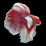 Dumbo Halfmoon Betta. On black background. Beautiful fish. Swimming flutter tail flutter Royalty Free Stock Image