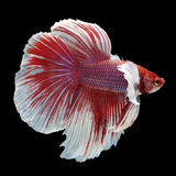 Dumbo Halfmoon Betta. On black background. Beautiful fish. Swimming flutter tail flutter Royalty Free Stock Photos