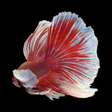 Dumbo Halfmoon Betta. On black background. Beautiful fish. Swimming flutter tail flutter Royalty Free Stock Photography