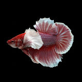 Dumbo HMPK Betta. On black background. Beautiful fish. Swimming flutter tail flutter Royalty Free Stock Photography