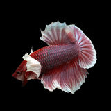 Dumbo HMPK Betta. On black background. Beautiful fish. Swimming flutter tail flutter Royalty Free Stock Image