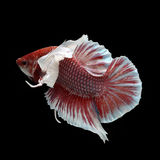 Dumbo HMPK Betta. On black background. Beautiful fish. Swimming flutter tail flutter Stock Photos