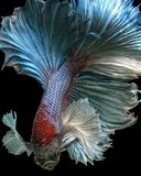 Dumbo maschio Betta Fish Swimming su un fondo nero Fotografia Stock