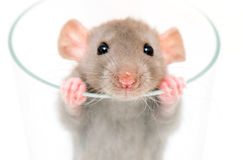 Dumbo rat. Small rat looking from glass Royalty Free Stock Photos