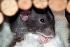 Dumbo Rat. A black and white Dumbo Rat sitting in his hut with his paws up to his face Royalty Free Stock Photos