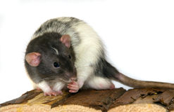 Dumbo Rat. A black and white Dumbo Rat sitting on his hut with his paws up to his face royalty free stock photos