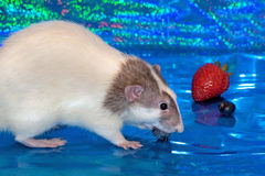 Dumbo rat eating berries. A dumbo rat eating blueberries and strawberries with a blue background Royalty Free Stock Photography