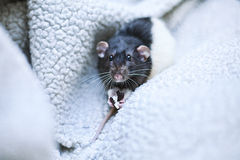 Dumbo rat Stock Photography