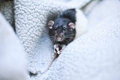 Dumbo rat. Watchful rat, named Dumbo, enjoys sweet Stock Photography
